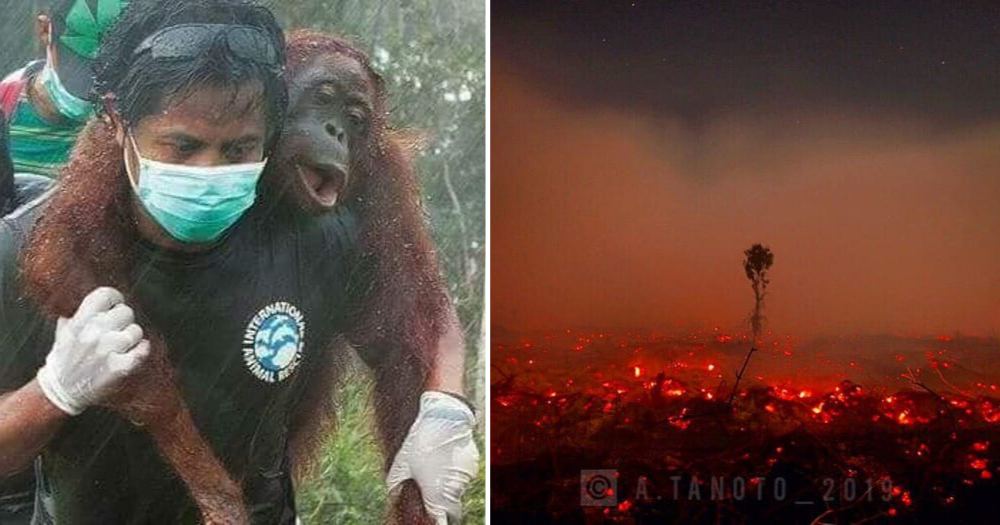 Indonesia's haze so bad orangutans suffering from respiratory infections, rescuers say