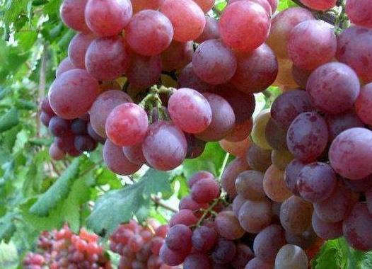 同样都是葡萄,中国葡萄和日本葡萄的差距为啥这么大?看完长见识