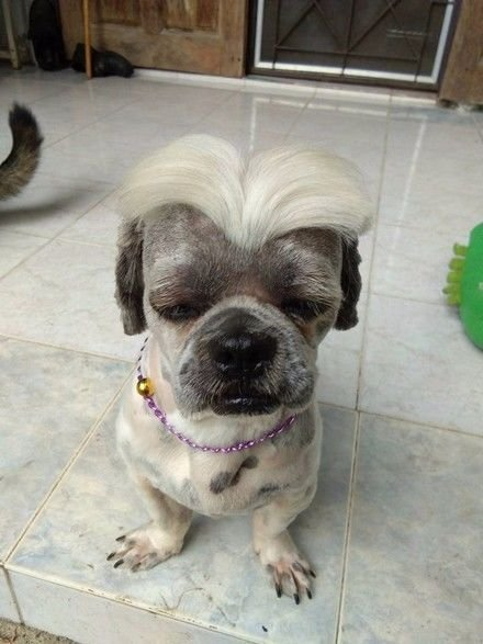 狗狗理发后,顶着酷炫的发型生无可恋,汪:不是真的我