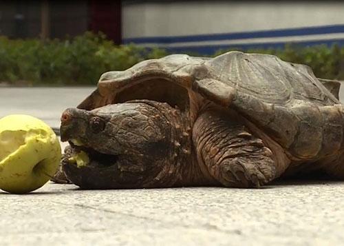 20斤重凶勐大鳄龟惊现闹市 路人吓坏:会咬人