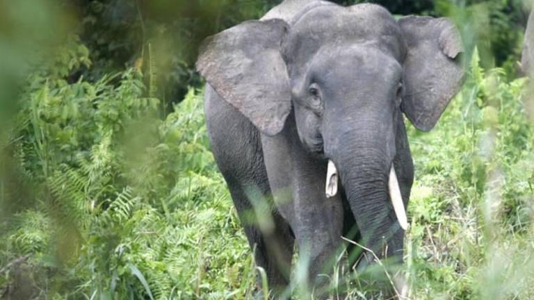 Elephant carcass in Kinabatangan has satellite collar