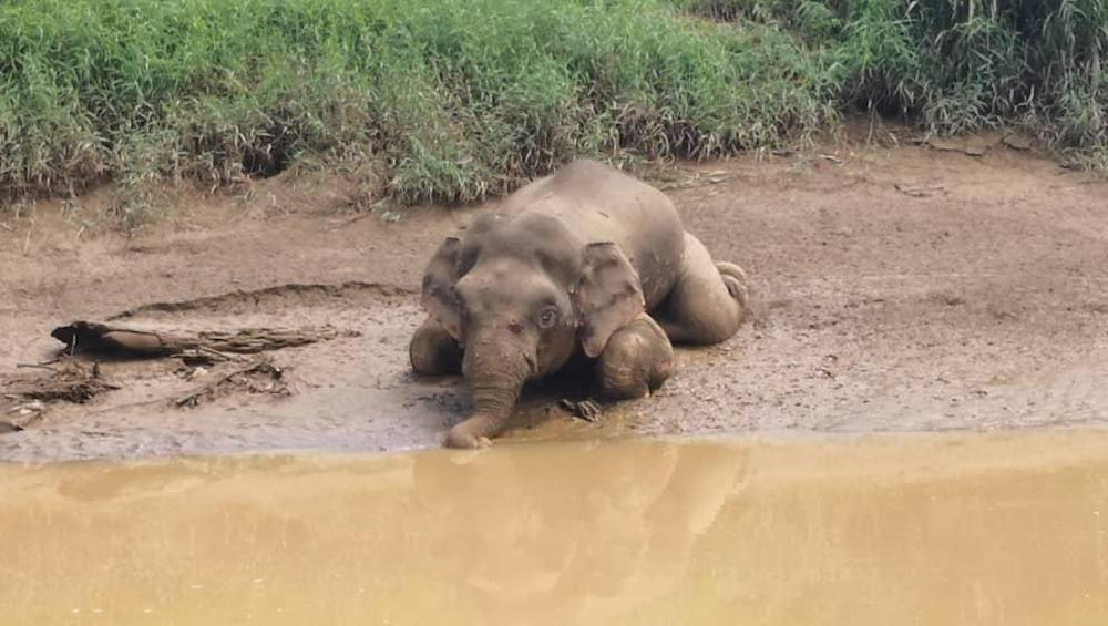 Dead Pygmy Elephant In Tawau River Was Shot 70 Times And Had Its Tusks Removed