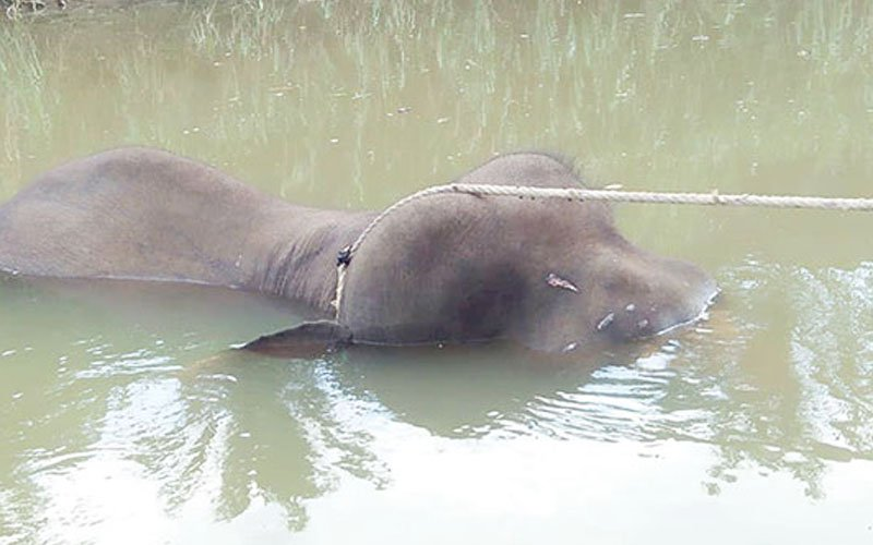 Body of yet another elephant found dead in Sabah