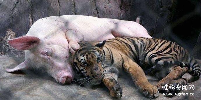 小老虎从小被母猪喂大,长大后,对待母猪的方式让人意外 !