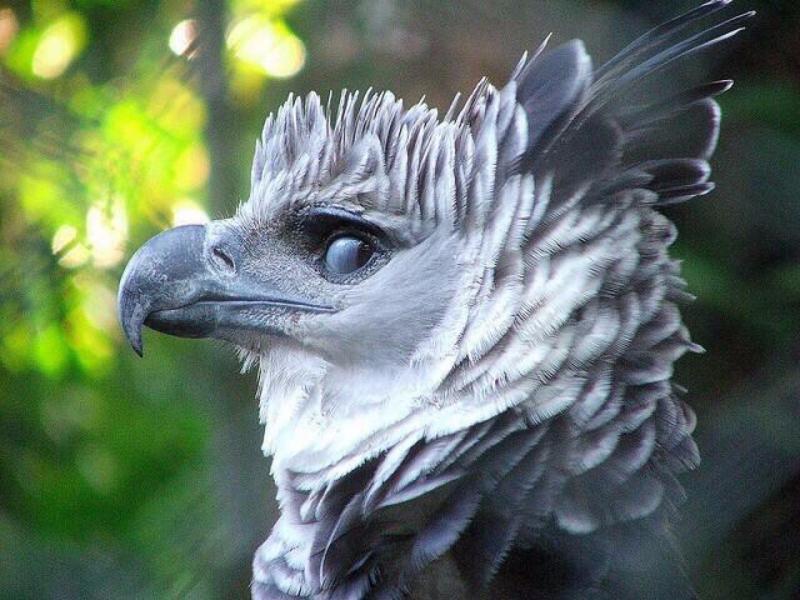鸟界巨人「角雕」无敌帅!翅膀张开「比人还高」网:确定不是工读生?