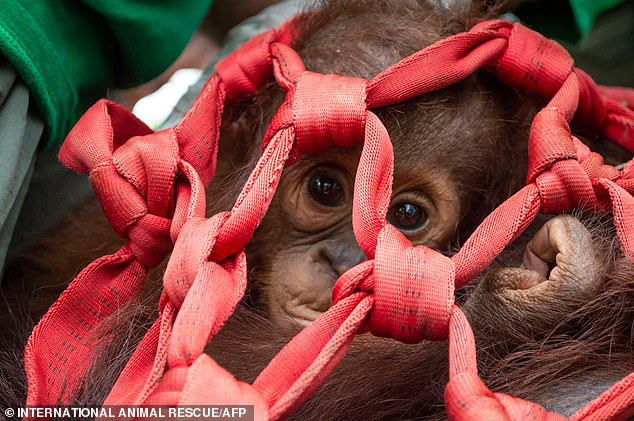 Three orangutans are released back into the wild after being rescued when their habitat was destroyed by huge forest fires in Indonesia