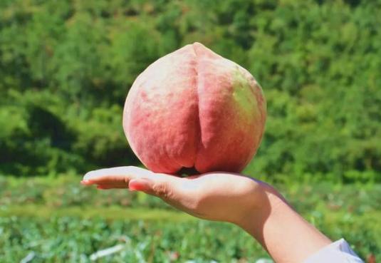 """它是桃中""""贵族"""",一斤多重比蜂蜜还甜,曾七入国宴,10月已成熟"""