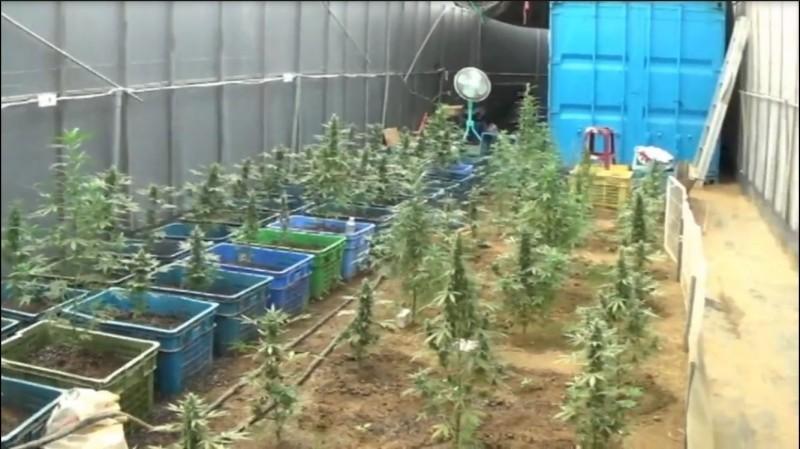 「青农典范」改种大麻 一审判5年2月 - 社会 - 自由时报电子报