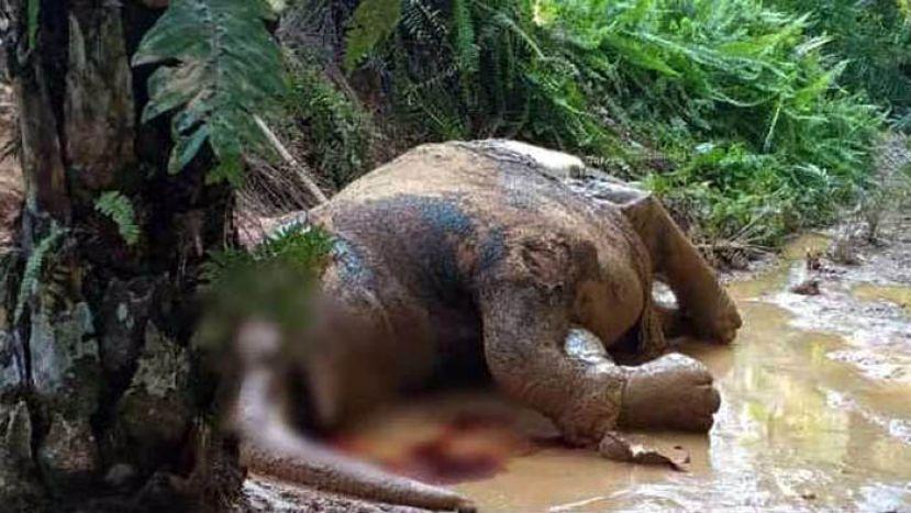 又一头侏儒象被残杀 西维尔:修法严惩盗猎