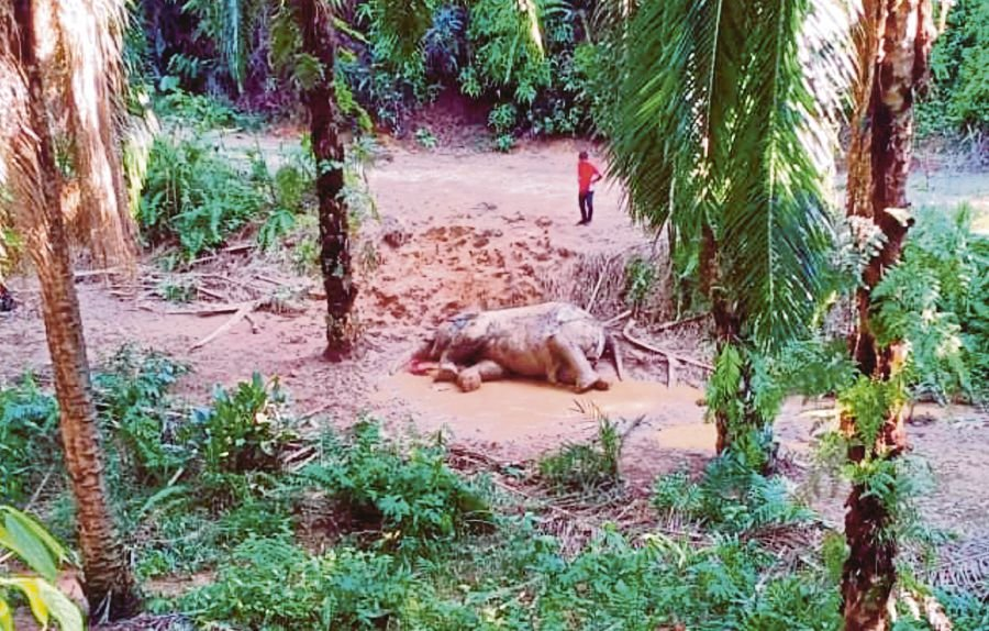 No bullets found in killed elephant