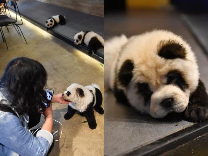 松狮犬被染色扮熊猫 成都咖啡馆惹虐犬争议