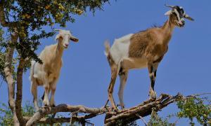Armed men arrested for stealing 52 goats in Bukit Mertajam