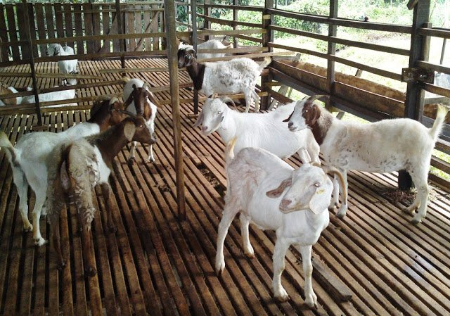 Group Of Masked Men In Penang Arrested For Stealing 52 Goats Worth RM50,000