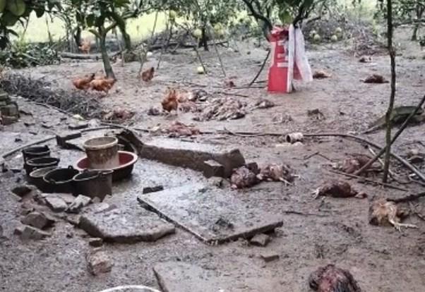 残疾妇养鸡维生 200只鸡被邻居恶犬全数咬死