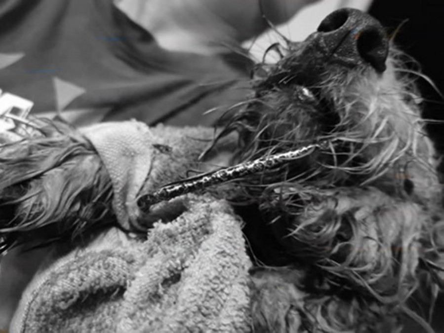 狗只咬笼被铁支插伤 饲主求助有人被揭虐狗