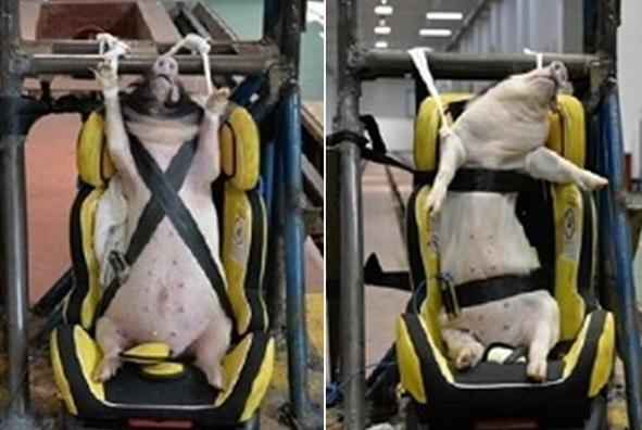 动保组织指中国学者用生猪测试汽车防撞力 批做法残忍