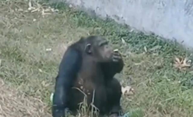 动物园黑猩猩抽菸,別拿游客素质差当託辞!
