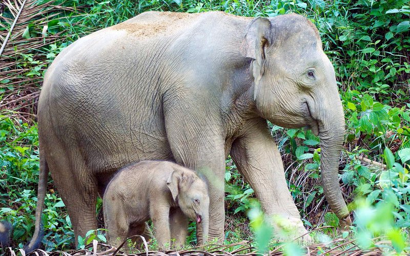 Activist calls for new elephant census in Sabah