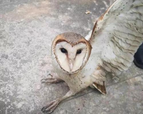 偷运国家二级野保动物猴面鹰 广西男遇交警断正