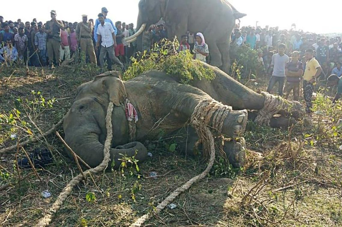 Rogue elephant named after Osama bin Laden caught in India after killing 5 people