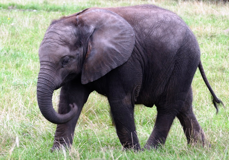 Another elephant found dead in Sabah