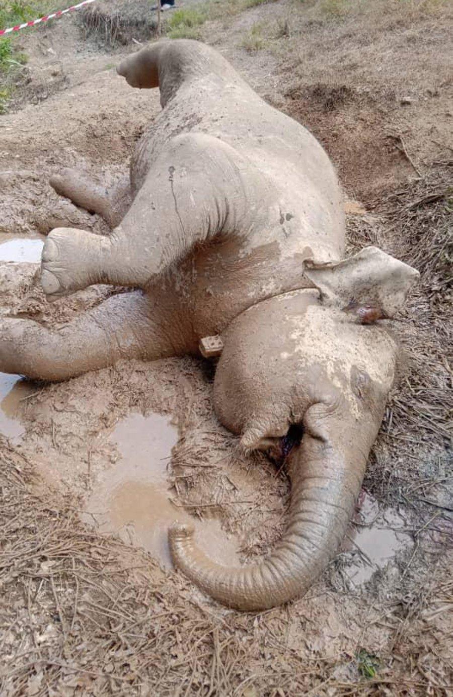 毙命小矮象死于急性中毒