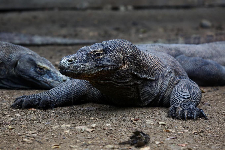 Luxury lizards: Governor proposes US$1,000 annual membership to enter Komodo National Park