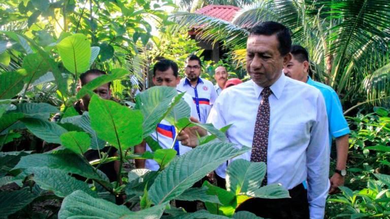 Ketum growers mostly in Kedah and Perlis: AADK