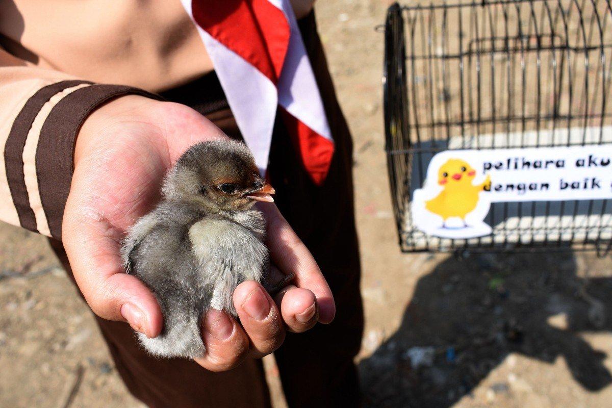 Indonesia trials gift of chicks to wean children off of smartphones