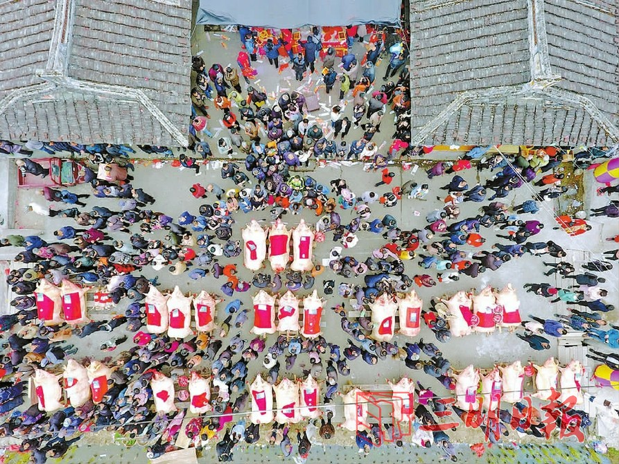 福建举办「晒猪节」 猪王净重达约917磅歷年最大