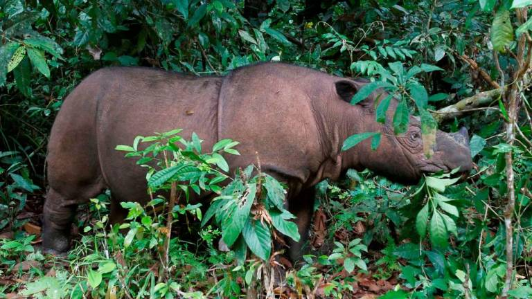 Chronology of rhino conservation in Sabah