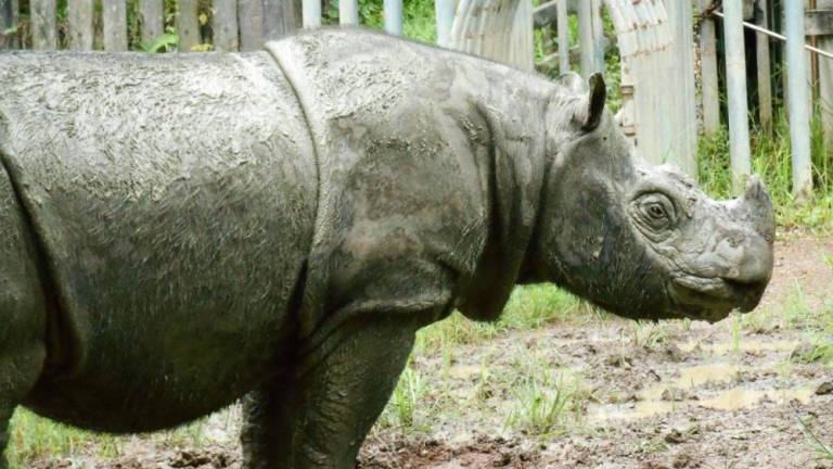 Iman, the last Malaysian Sumatran rhino dies