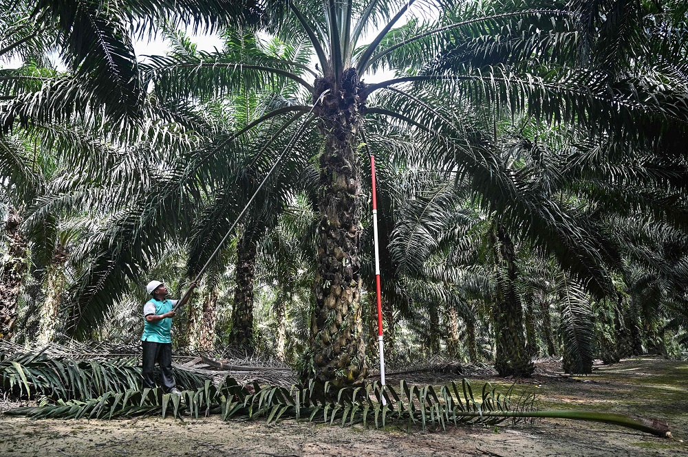 CPO prices likely to stay above RM3,100 per tonne, says MPOC