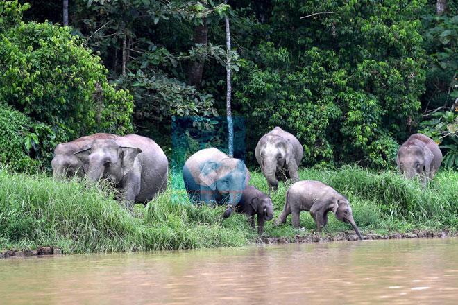 Battle to save Sabah's pygmy elephants