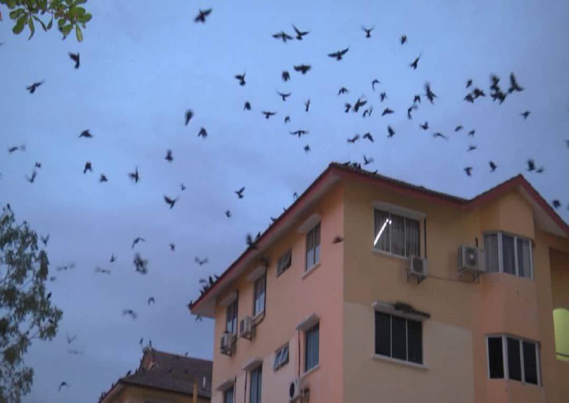 Tourists in Melaka 'bombarded' with crow droppings