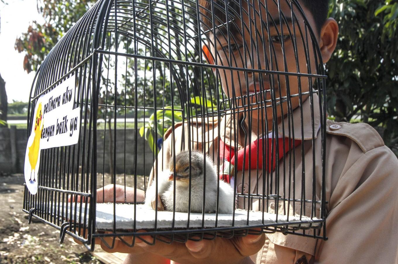 'Reckless' and 'wrong': PETA lambasts Bandung Mayor for 'chickenization' policy