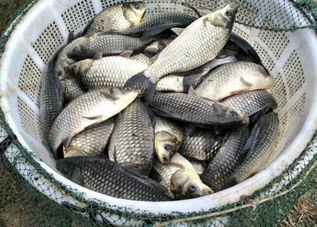 野战蓝鲫加这些东西,钓鱼效果提升60%,多钓鱼就是这么简单