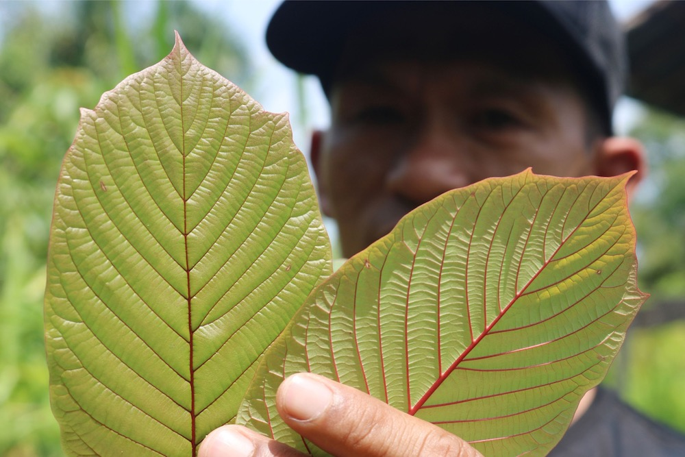 Perlis: Smugglings of two tonnes of kratom leaves thwarted