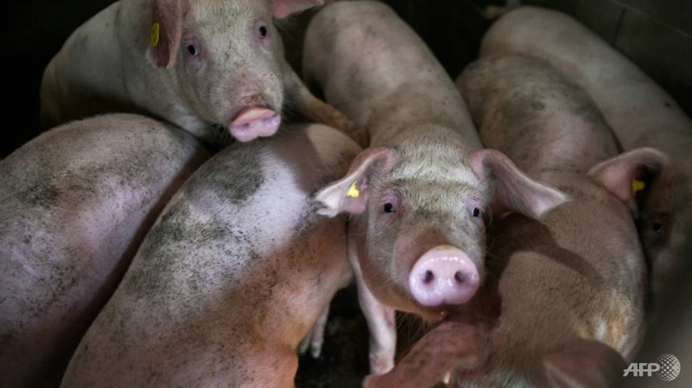 China reports African swine fever in pigs transported to Jiangsu province