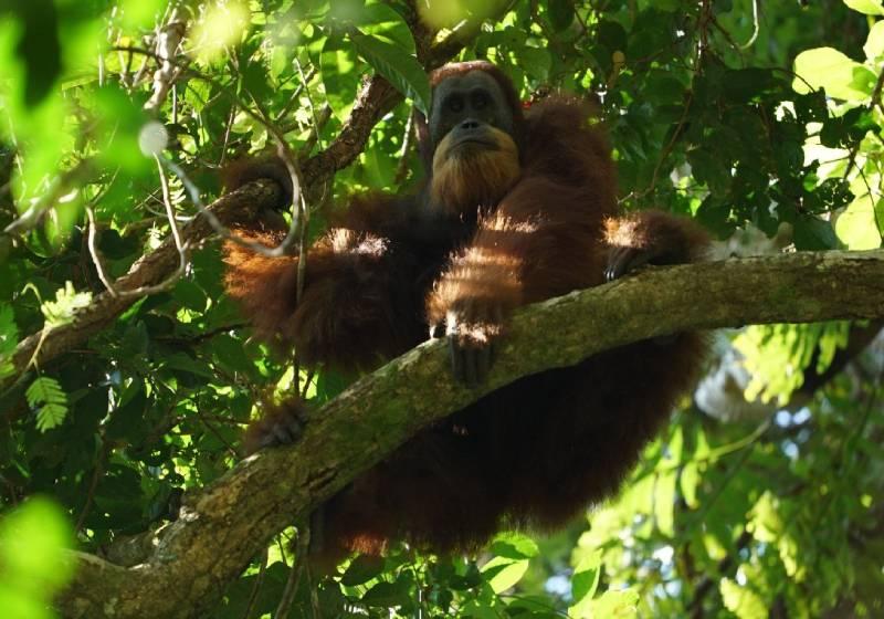 Malnourished, injured Indonesian orangutan rehabilitated and released