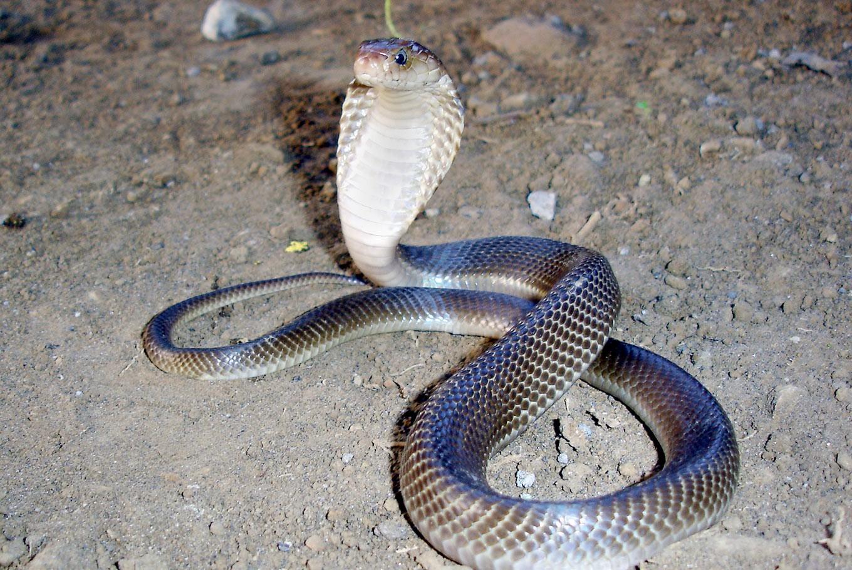 Lurking inside? Tens of cobras terrorize toilets in West Jakarta