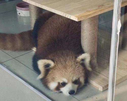 重庆咖啡店疑以小熊猫吸客人 相关部门介入调查