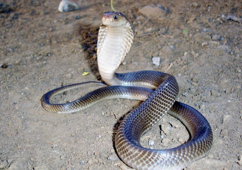 Slithering situation: Cobras captured after terrorising regions in Indonesia