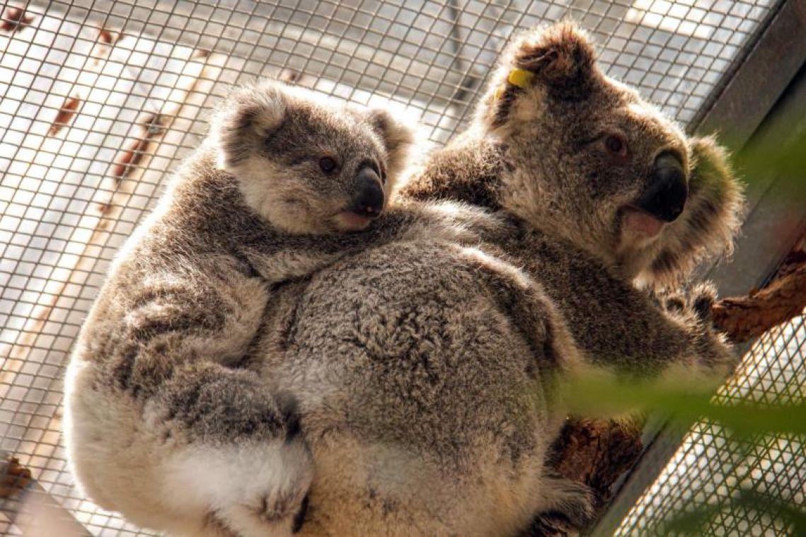Koalas rescued from path of raging bush fire near Sydney