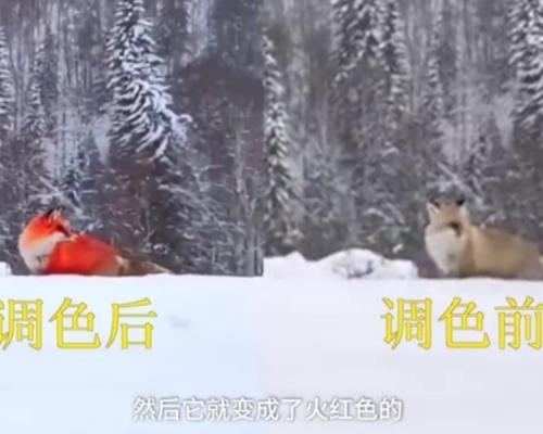 黑龙江大兴安岭雪地现火狐狸? 原来是「P」图