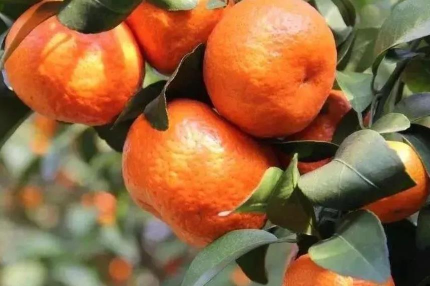 砂糖橘行情基本稳定,沃柑有价无市,出货量减少