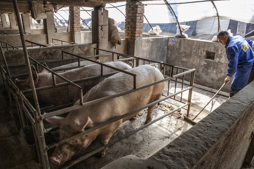 African swine fever: North Sumatra spends Rp 5 billion to bury thousands of dead pigs