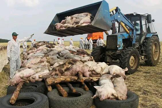 美国人基本不吃猪肉,为何还是养猪大国呢?看完你就懂了