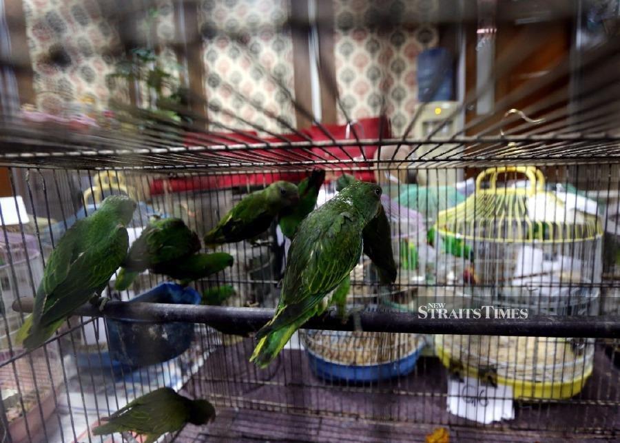 Perak Perhilitan seizes protected birds, two arrested