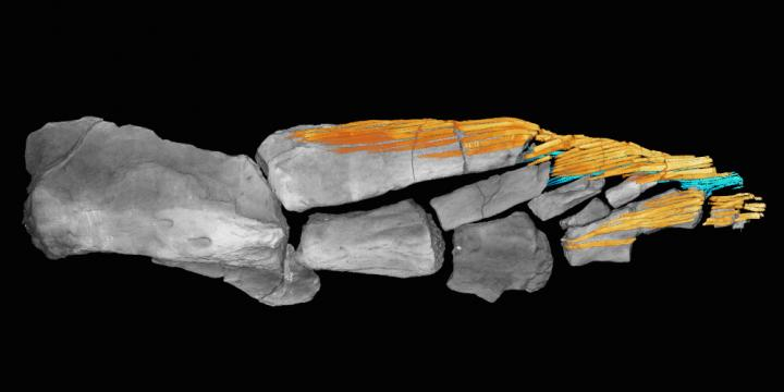 How fish fins evolved just before the transition to land